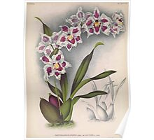 Iconagraphy of Orchids Iconographie des Orchidées Jean Jules Linden V16 1900 0186 Poster