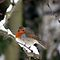 ROBIN REDBREAST.....BEAUTIFUL WORK OF ROBINS THIS CHRISTMAS! :)