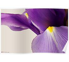 Purple Iris beginning to Bloom Poster