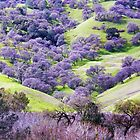 Blue Oaks, Vaca Mountains, Solano County, CA by Rebel Kreklow