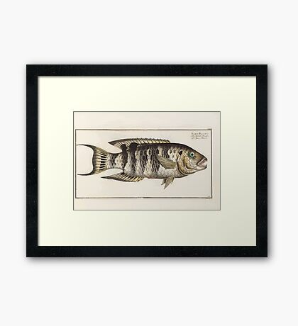 General natural history of fish  Germany Allgemeine naturgeschichte der fische Marcus Elieser Bloch Plates 1795 0549 Framed Print