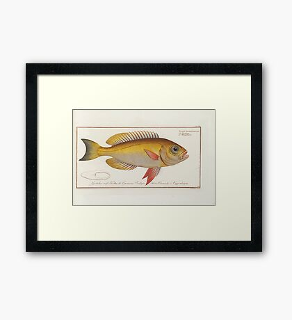 General natural history of fish  Germany Allgemeine naturgeschichte der fische Marcus Elieser Bloch Plates 1795 0673 Framed Print