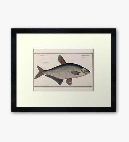 General natural history of fish  Germany Allgemeine naturgeschichte der fische Marcus Elieser Bloch Plates 1795 0255 Framed Print