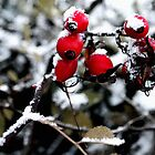 Red berries in the snow. by Ruth Jones