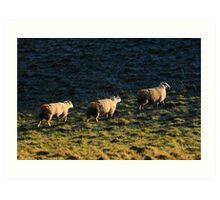 Three Sheep Walking Art Print