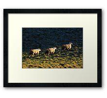 Three Sheep Walking Framed Print