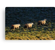 Three Sheep Walking Canvas Print