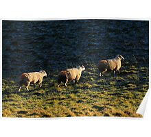 Three Sheep Walking Poster