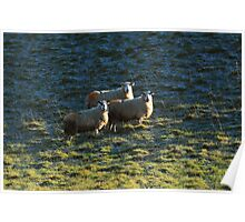 Sheep in the Burren Poster
