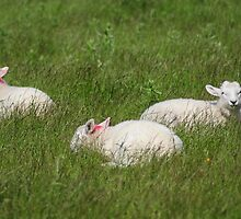 Three Lambs by Karin  Funke