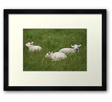 Three Lambs Framed Print