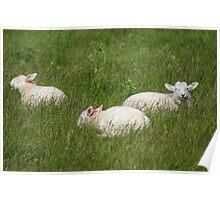 Three Lambs Poster