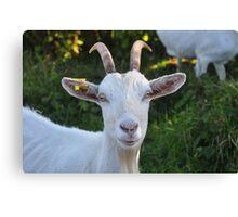 Burren Goat II Canvas Print