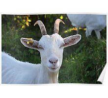 Burren Goat II Poster