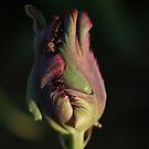 Purple Parrot Tulip by Lindie Allen