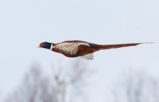 Like A Dart / Ring Necked Pheasant by Gary Fairhead