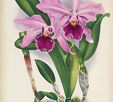 Iconagraphy of Orchids Iconographie des Orchidées Jean Jules Linden V16 1900 0166 by wetdryvac