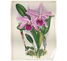 Iconagraphy of Orchids Iconographie des Orchidées Jean Jules Linden V16 1900 0166 Poster