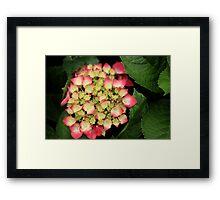 Budding Hydrangea Framed Print