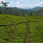 Head in a tea plantation, Hatton, Sri Lanka by Syd Winer