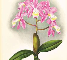 Iconagraphy of Orchids Iconographie des Orchidées Jean Jules Linden V17 1906 0150 by wetdryvac