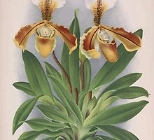Iconagraphy of Orchids Iconographie des Orchidées Jean Jules Linden V16 1900 0218 by wetdryvac