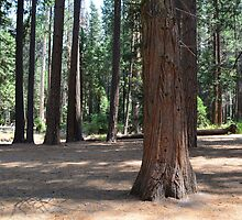 Big trees, forest in Yosemite National Park by naturematters