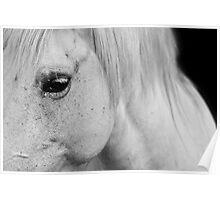 White horse - Camarge, France Poster
