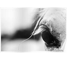 White horse's eye Poster