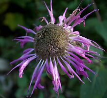 Wild bergamot in Waterton-Glacier Peace Park by MontanaMel