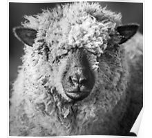 Wool Face Poster