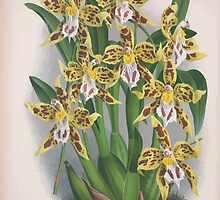 Iconagraphy of Orchids Iconographie des Orchidées Jean Jules Linden V4 1888 0066 by wetdryvac