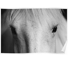 white horse's portrait - Camarge, France Poster