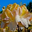Dunedin Botanical Garden, Mollis Azalea. by johnrf