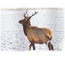 Young bull elk Poster