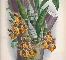 Iconagraphy of Orchids Iconographie des Orchidées Jean Jules Linden V3 1887 0105 by wetdryvac