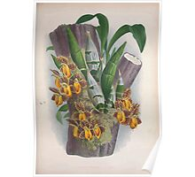 Iconagraphy of Orchids Iconographie des Orchidées Jean Jules Linden V3 1887 0105 Poster