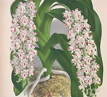 Iconagraphy of Orchids Iconographie des Orchidées Jean Jules Linden V4 1888 0034 by wetdryvac