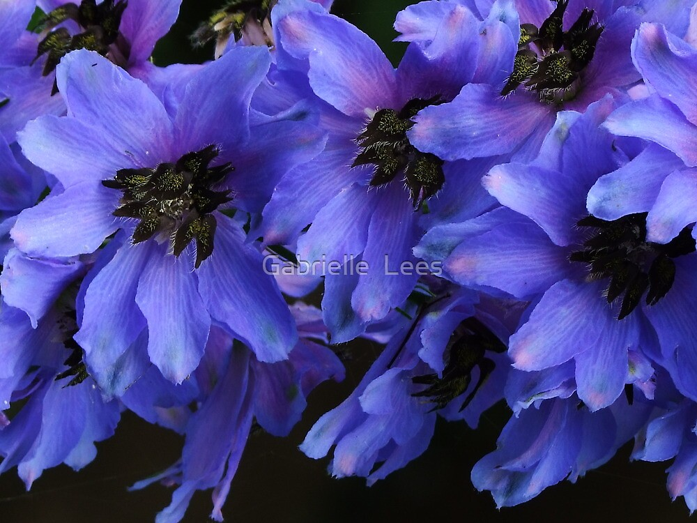 Pacific Giant Black Knight Delphinium! by Gabrielle  Lees