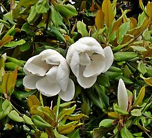 White magnolia by cheeckymonkey