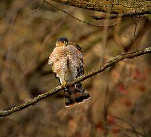 Sharp Shinned Hawk by John Absher