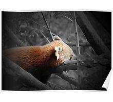 Sleepy Red Panda Poster