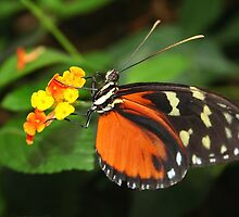 On Flower Hecale Longwing - Heliconius hecale zuleika by Lepidoptera