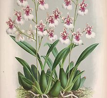 Iconagraphy of Orchids Iconographie des Orchidées Jean Jules Linden V3 1887 0117 by wetdryvac