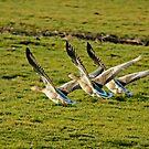 Greylag Geese by Robert Abraham