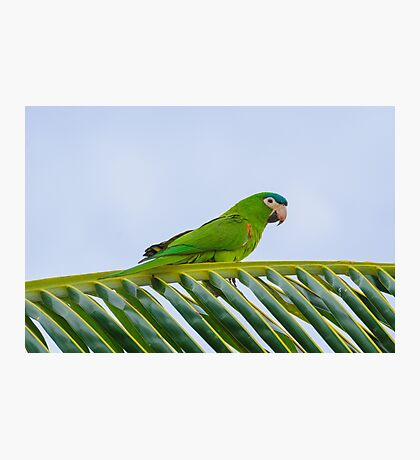 Parrot on a palm Photographic Print