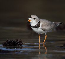 Piping Plover by Rob Lavoie
