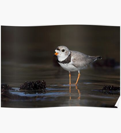 Piping Plover Poster