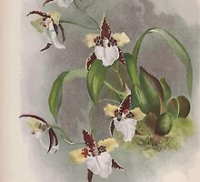Iconagraphy of Orchids Iconographie des Orchidées Jean Jules Linden V15 1899 0038 by wetdryvac