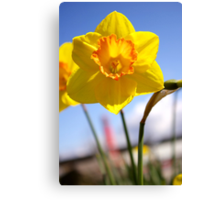happy daffy Canvas Print
